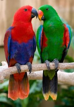 http://www.pets4homes.co.uk/images/classifieds/2016/07/17/1333660/large/looking-for-a-eclectus-parrot-578b930461064.png