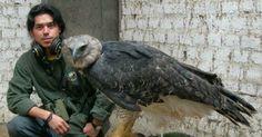Άρπυια:Ο ισχυρότερος αετός στον κόσμο [foto-video]