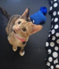 Soresu is an adoptable Domestic Short Hair searching for a forever family near Albuquerque, NM. Use Petfinder to find adoptable pets in your area.