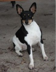 Gem the spina bifida kid spent most of her time doing other things... only learned to sit after she was 2 yrs old. :)  Rat Terrier, Tri-color