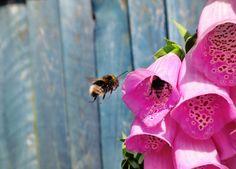 Beautiful bumblebee #foxglove #bumblebee #saveourbees #bees #pollinators #beepalace