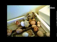 ▶ Life Cycle of a Chicken Educational Video - YouTube