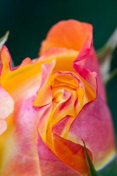 Rose, Spectra