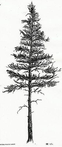 black spruce silhouette - Google Search                                                                                                                                                                                 More
