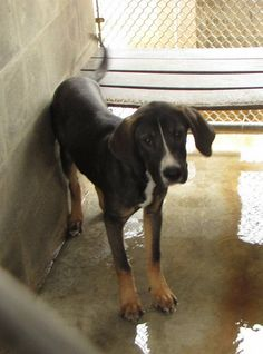 Deadline: Thurs, April 20th 2017 @3:30pm  Manning #48931 male tri-color  approx. 7-9 mos old 33 lbs  pen G1 Sebring, Florida https://www.facebook.com/136510243142818/photos/a.1060240907436409.1073741878.136510243142818/1164521277008371/?type=3&theater