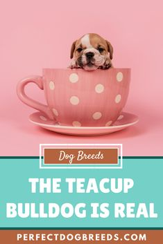 Mini but mighty, the tiny teacup bulldog will get on with everyone and is very robust, thriving in the city and countryside. Read on to learn more about the teacup-sized mini bulldog and other teacup dog breeds. Teacup Bulldog, Mini Bulldog, Teacup Dog Breeds, Miniature Dogs, Little Dogs, Small Dogs, Pugs, Countryside, Tea Cups