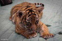 https://flic.kr/p/TFNoFJ | Cincinnati Zoo 4-10-17-1229 | Tiger Cubs - 9 weeks old