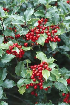 Ilex 'China Girl' (Holly) with bright red berries and spiny toothed leaves Evergreen Flowering Shrubs, Evergreen Bush, Evergreen Landscape, Trees And Shrubs, Hedge Trees, Flag Pole Landscaping, Backyard Landscaping, Landscaping Ideas, Sloped Backyard