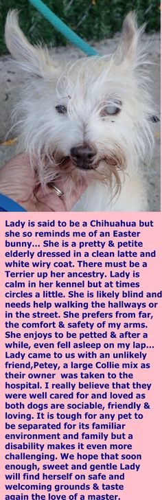 SAFE 10-15-2016 by Amsterdog Animal Rescue --- SUPER URGENT Manhattan Center LADY – A1092362  **POSSIBLY BLIND**  FEMALE, TAN, CHIHUAHUA SH MIX, 12 yrs STRAY – ONHOLDHERE, HOLD FOR ID Reason STRAY Intake condition UNSPECIFIE Intake Date 10/04/2016  http://nycdogs.urgentpodr.org/lady-a1092362/