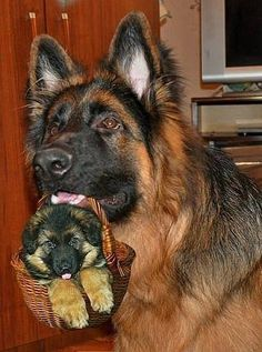 GSD & Baby