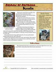 Animals of Australia: Koala