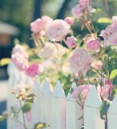 Peonies on a white picket fence