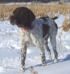 Tyson Male German Shorthair Pointer from Outback Kennels