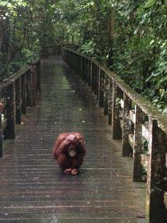 orangutans are my favorite