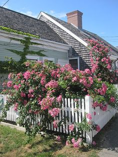 cottage with a cottage garden, and climbing roses..(Provincetown, Cape Cod)