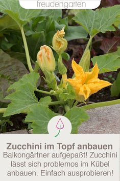 - Grow the zucchini in the pot. Tips for growing zucchini in the planter on a balcony or terrace. # Vegetable cultivation - Grow the zucchini in the pot. Tips for growing zucchini in the planter on a balcony or terrace. Garden Care, Balcony Garden, Garden Planters, Growing Vegetables, Growing Plants, Gardening For Beginners, Gardening Tips, Growing Zucchini, Back Gardens