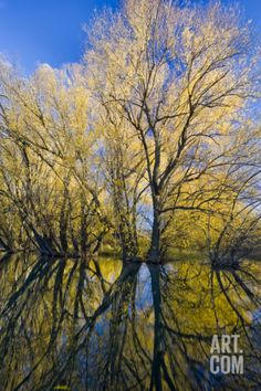 Peachleaf Willow (Salix Amygdaloides) Along Logan River, Utah, USA Photographic Print