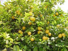 Ambientador de limón De la mano de su abuelo, la niña, recorre los limoneros por orden de la abuela, tienen...