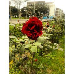 #Fotografía #Rosa #Roses #Green #Verde #Natural #Naturaleza #SamsungJ7 #UNMSM #Lima #Perú