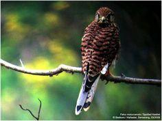 Spotted Kestrel         Planetofbirds.com