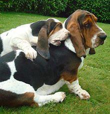 Un adulto Basset Hound con un cachorro