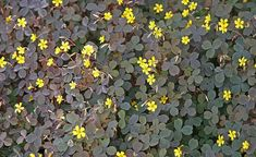 Horn-Sauerklee (Oxalis corniculatus) Source by Landscaping Images, Landscaping Plants, Patio Roof Extension Ideas, Oxalis Acetosella, Garden Slabs, Wood Sorrel, Hydrangea Care, Patio Plants, Gardens