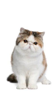 Экзотическая короткошерстная – гибрид перса и американской кошки