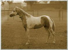 Friends of Marwari / Kathiawari Horse UK