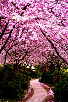Cherry Blossom (by CB - Photography)