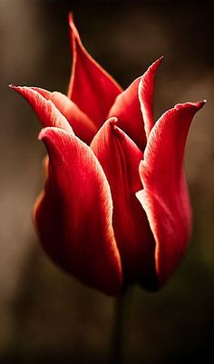 Tulips, such a happy flower / Red Tulips, Tulips Flowers, Exotic Flowers, Planting Flowers, Happy Flowers, My Flower, Beautiful Flowers, Potager Bio, Jolie Photo
