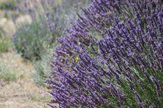 O toque da beleza alada na leveza violeta