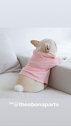 The major breeds of bulldogs are English bulldog, American bulldog, and French bulldog. The bulldog has a broad shoulder which matches with the head. French Bulldog Full Grown, Cute French Bulldog, French Bulldog Puppies, French Bulldogs, Frenchie Puppies, Cute Puppies, Cute Dogs, Dogs And Puppies, Doggies