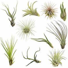 Lupine BOGO 50/% off SALE 100 seeds Perennis