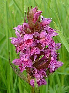 Orchidee selvatiche in Italia - Wikipedia