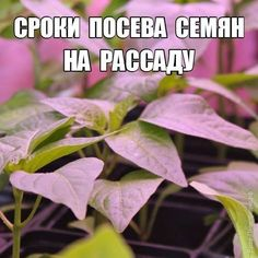 Рассада, с которой начинается богатый урожай! Farm Gardens, Permaculture, Vegetable Garden, Diy And Crafts, Soda, Fruit, Vegetables, Plants, Flowers