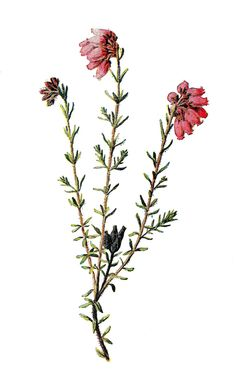 Antique Images: Vintage Scrapbooking Wildflower Clip Art of Flower Cross-Leaved Heather