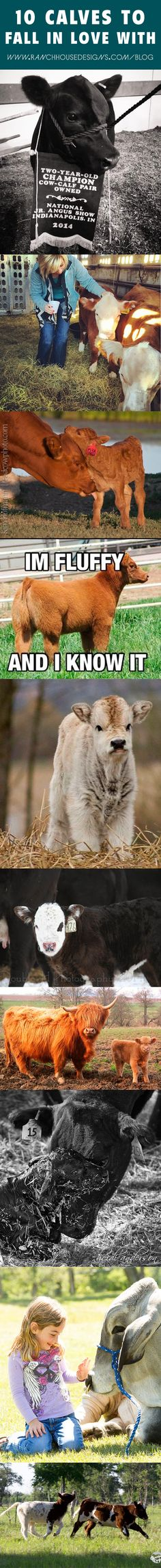 10 Calves to Fall in Love With - Ranch House Designs Blog