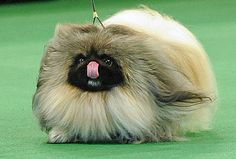 Pekingese - So cute!- I want another one!!