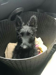 Mollie Rose, beautiful Scottish Terrier pup