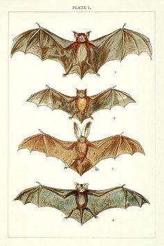 vintage bat drawing - Google Search