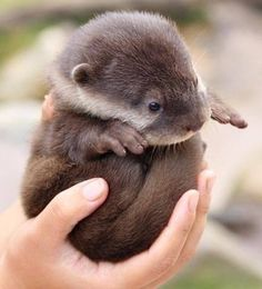 """Baby otter! They really are like """"sea puppies"""" - so precious! Look at that face, those fingers and that round furry belly! :)"""