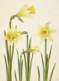 Watercolour painting of Daffodils from a set of drawings from a nature album by French artist Jacques Le Moyne. Art Floral, Floral Drawing, Floral Watercolor, Watercolour, Botanical Flowers, Botanical Prints, Watercolor Pictures, Watercolor Paintings, Daffodil Tattoo