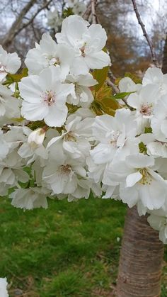 White Cherry Blossom Fluttering In The Breeze White Cherry Blossom Fluttering In The Breeze To Garden Myself Calm togardenmyselfcalm Spring In The Garden I have always loved nbsp hellip videos tattoo Beautiful Nature Scenes, Beautiful Flowers Garden, Flowers Nature, Amazing Flowers, Pretty Flowers, Spring Flowers, White Flowers, Blossom Flower, My Flower