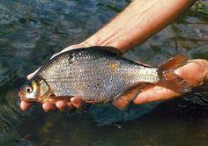 Die #Güster – #Brassen zum Verwechseln ähnlich, wird nur von Spezialisten befischt.  Die Güster, in Deutschland seltener beangelt als in Großbritannien, wird häufig mit jungen Brassen oder mit Hybriden verwechselt.  http://www.angelstunde.de/guester/