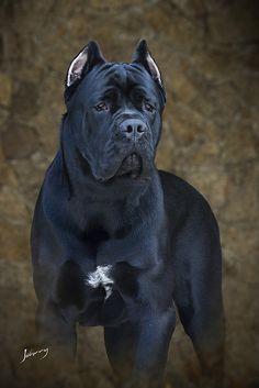 A beautiful powerful Italian (Cane Corso, )muscular mastiff breed dog. Cane Corso Mastiff, Cane Corso Dog, Mastiff Dogs, Big Dogs, I Love Dogs, Dogs And Puppies, Beautiful Dogs, Animals Beautiful, Cute Animals