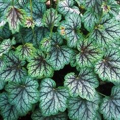 Heuchera 'Green Spice' - common name Coral Bells spices up a shade garden with color. This selection has broad, green leaves with a silvery overlay, darker green edges, and purplish-red veining. The coloration is most intense during cooler months, eventually turning to brilliant shades of red and orange in the fall. Use 'Green Spice' tiny cream flowers in early summer for cut flower arrangements.