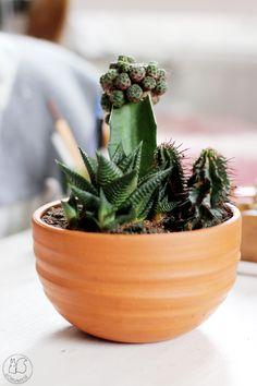 Oravanpesä | Kaktukset Udumbaran ruukussa