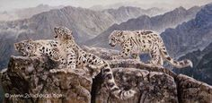 Highjinks - Snow Leopards by Matthew Hillier is available as a Signed And Numbered Limited Edition Print with a 16 x 32 Image Size priced at $145 unframed. Description from artbarbarians.com. I searched for this on bing.com/images