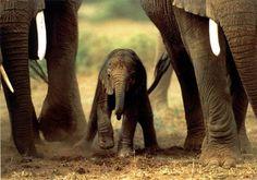 Elephant! Elephant! elephant