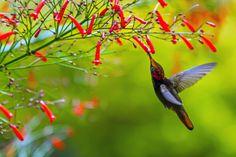 (via 500px / Ruby-topaz Hummingbird- (Chrysolampis mosquitus)- Male by Thiago Silva)